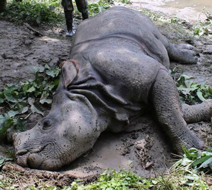 Seven rhinos died of natural causes in three months