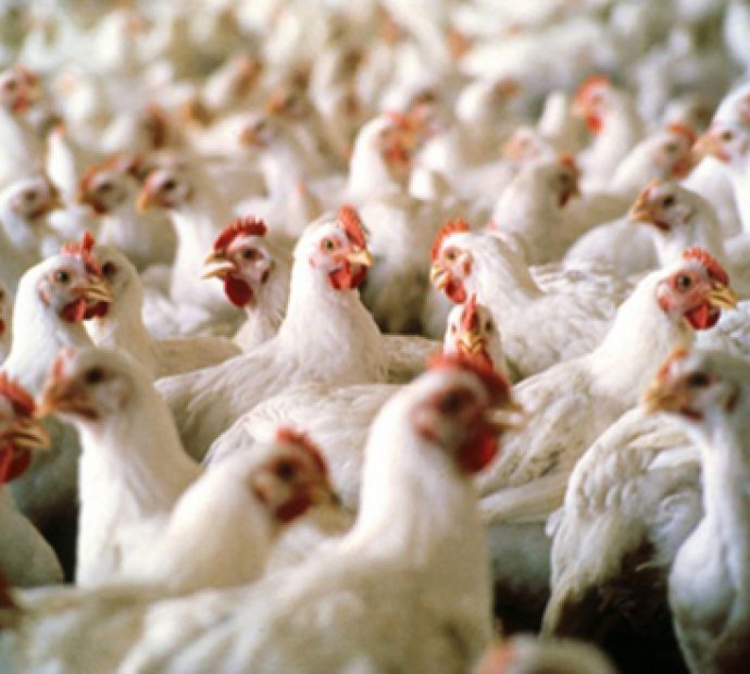 Poultry business faces loss of Rs 18 billion